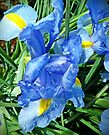 Irises after Rain by Julie Sleeman