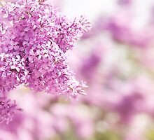 Lilac vibrant pink inflorescence by Arletta Cwalina
