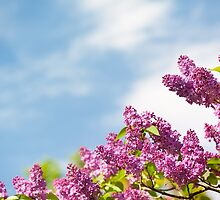 Lilac pink inflorescences by Arletta Cwalina