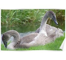 Pair of Cygnets Poster