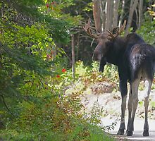 Maine Moose bull by Enola-Gay Wagner