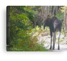 Maine Moose bull Metal Print