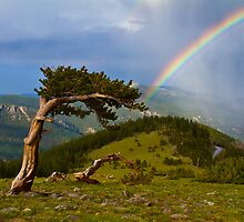 Bristlecone Pine Rainbow On Mount Evans by CrowningGlory