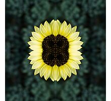Combined Sunflower Photographic Print