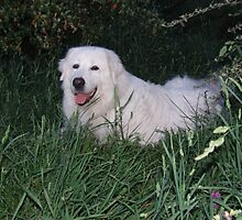 Maremma & Other Livestock Guardian Dog Calendar by ariete