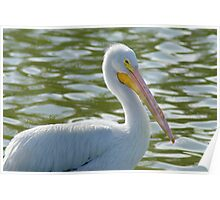 A Young White Pelican Poster