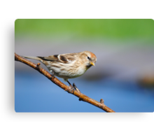 Lesser Redpoll (female) Canvas Print