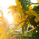 Sunflowers In The Morning Sun by Carolyn Chentnik