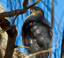 Colorado Cooper's Hawk by CrowningGlory