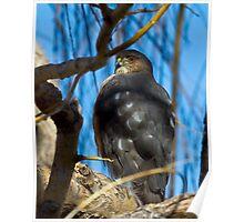 Colorado Cooper's Hawk Poster