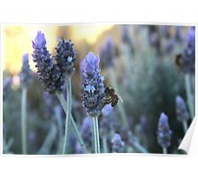Lavender  with a Bee Poster
