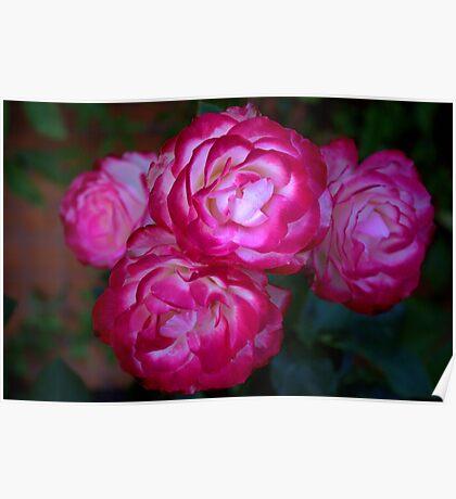 My rose bush Poster