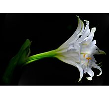 SIMPLICITY - THE SPIDER LILY Photographic Print