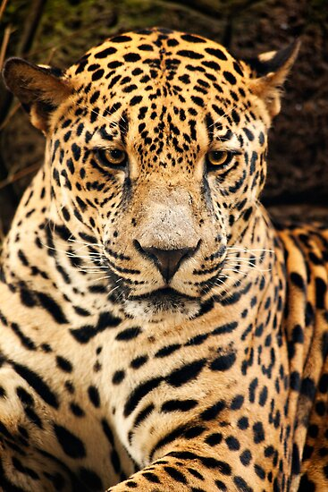 Jaguar  by vividpeach