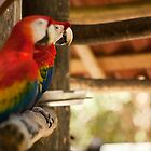Macaws by vividpeach