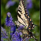 Tiger Swallowtail by Victoria Jostes