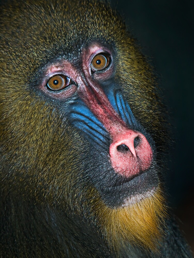 Mandrill's Portrait by Henry Jager