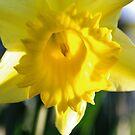 Daffodil by Jessica Hooper