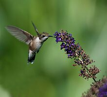 Hungry hummer 3 - hummingbird at butterfly bush by Jen St. Louis