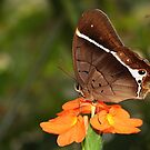 Common Brown Morpho - Antirrhea philoctetes by Lepidoptera