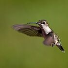 Hovering hummer - hummingbird in flight 2 by Jen St. Louis
