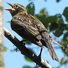 Female red-winged blackbird by hummingbirds
