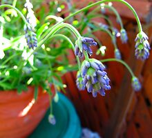 Potted Lavender by MarianBendeth