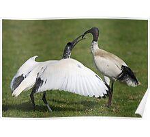 Australian White Ibis, Juvenile Begging Poster