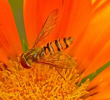 Hoverfly in Orange Bloom by Mark Johnson