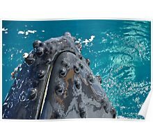 Humpback Whale Spy Hop   Poster