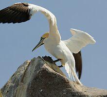 Precison landing, gannet, Saltee Islands, County Wexford, Ireland by Andrew Jones