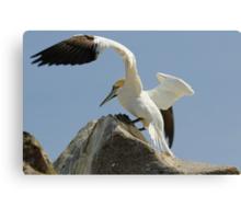 Precison landing, gannet, Saltee Islands, County Wexford, Ireland Canvas Print
