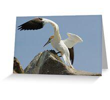 Precison landing, gannet, Saltee Islands, County Wexford, Ireland Greeting Card