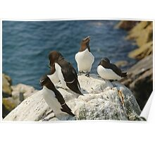 Every angle covered, razorbills, Saltee Island, County Wexford, Ireland  Poster