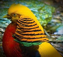 Golden Pheasant by Gerard Rotse