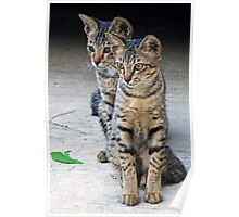 Kitten duo Poster