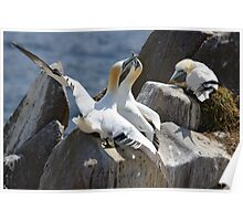 Jealous onlooker, gannets, Saltee Island, County Wexford, Ireland Poster