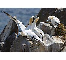 Jealous onlooker, gannets, Saltee Island, County Wexford, Ireland Photographic Print