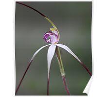 ~ Caladenia behrii ~ Poster