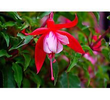 Fuchsia   #1 Photographic Print