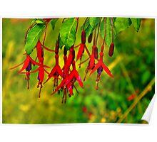 Fuchsia   #2 Poster