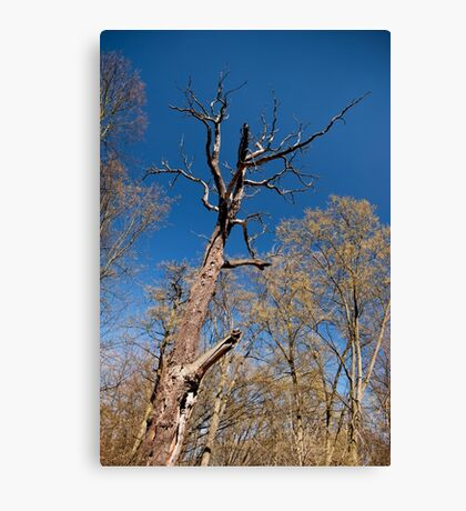 Old dead trunk decayed tree Canvas Print