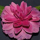 Camellia Royal Velvet - Victorian Camellia Festival by Bev Pascoe