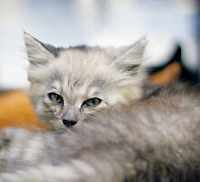 Soft kitty by Matic Golob