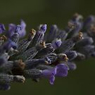 Lavender... by LadyPixbo