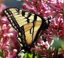 Yellow Swallowtail by Heather Mellon