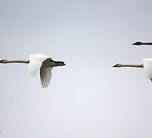 Trumpeter Swans by Heather Mellon