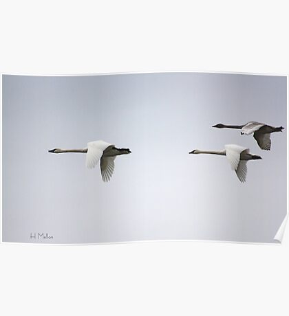 Trumpeter Swans Poster