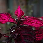 Magenta coleus leaves Leith Park Victoria 201509210383   by Fred Mitchell