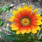 African Daisy by Maria  Gonzalez